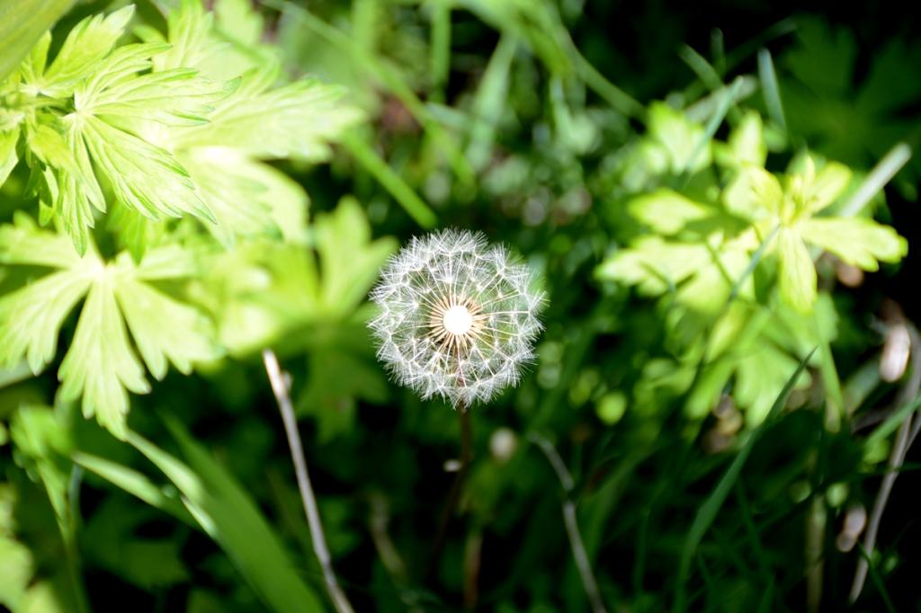 A dandelion ready to reproduce. Photo taken on the Whitney Lake Trail on June 16, 2015. Nikon D600 photo taken by Dave O.